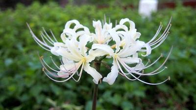 白色の彼岸花