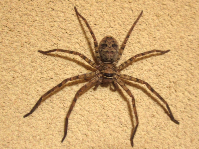 大きい蜘蛛(アシダカグモ)